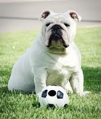 Large_soccer_dog