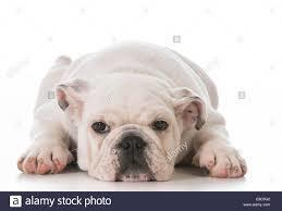 Large_white_bulldog4